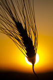 Time to harvest. A closeup photo of a wheat stem. Silhouette effect, photgraphed against the sun at sunset, with a typical orange and yellow sky as backgorund Stock Image