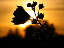 It is time to me to sleep. Flower on a sunset stock photography