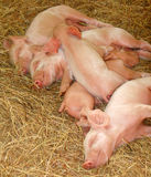 Time to sleep. A bunch of piglets sleeping Royalty Free Stock Image