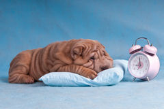 Time to Wake-Up. Cute Puppy reluctant to wake-up and overslept the alarm Stock Image