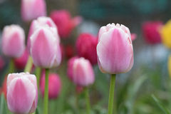 Time for Tulips to bloom Stock Images