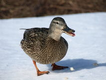 Time for winter. Mallard ducks near the river looking for food stock image