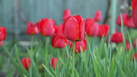 Timelaps growing on a flower bed red tulips are revealed. Timelaps growing on a flowerbed red tulips at dawn are revealed stock video