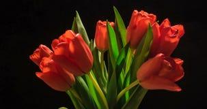 Timelapse του κόκκινου λουλουδιού τουλιπών που ανθίζει στο μαύρο υπόβαθρο φιλμ μικρού μήκους