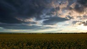 Timelapse των λουλουδιών συναπόσπορων στο βράδυ Όμορφο ηλιοβασίλεμα με το σκούρο μπλε ουρανό, το φωτεινό φως του ήλιου και τα σύν απόθεμα βίντεο