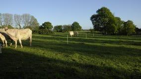 Timelapse - небольшой табун белых скотин пасите в поле - коровы, быки и икры, в позднем вечере с заходящим солнцем сток-видео