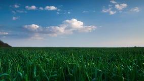Timelapse пшеничного поля в вечере Красивый заход солнца с темно-синим небом, ярким солнечным светом и облаками сток-видео
