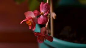 Timelapse с домашним розовым цветком видеоматериал