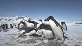 Timelapse antártico del juego de la colonia del pingüino del adelie almacen de video