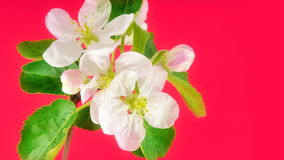 Timelapse apple flower stock footage
