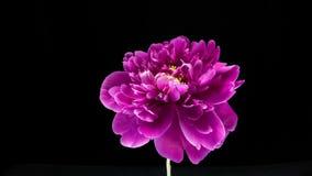 Timelapse av den rosa pionblomman som blommar på svart bakgrund stock video