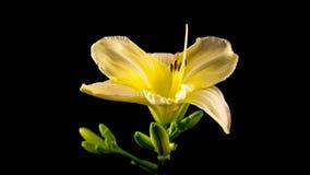 Timelapse av en gul daylilyblomma som blommar och bleknar på svart bakgrund lager videofilmer