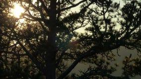 Timelapse av solinställningen bak trädfilialer lager videofilmer