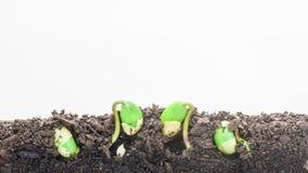 Timelapse av växande sojabönor stock video