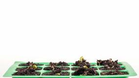 Timelapse av växande växter över vit backround stock video