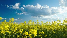 Timelapse of beautiful rapeseed flowers with dark blue sky with clouds stock video footage