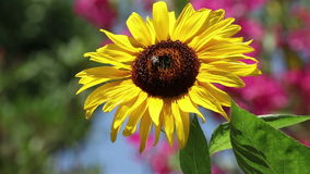 Timelapse of a bee on a sunflower stock video