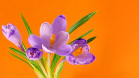 Timelapse blooming crocuses Stock Image