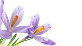 Timelapse Blooming Crocuses. Two blooming crocuses in timelapse, with thin green leaves, isolated on white. Brightness stabilized - no flickering, smooth stock video footage