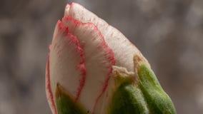 Timelapse-Blumen-Blüte Dianthus stock footage