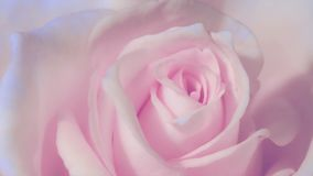 Timelapse,Close up of opening pink rose, blooming pink roses, beautiful animation, FULL HD vector illustration