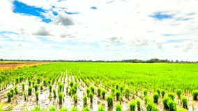 Timelapse clouds over the green rice fields stock video footage