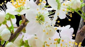 Timelapse cortado flor de la flor del ciruelo salvaje almacen de video