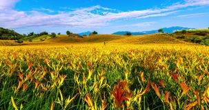 Timelapse of daylily flower in the Mountain of Taiwan stock footage