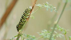 Timelapse de chenille de papillon de machaon de Papilio banque de vidéos