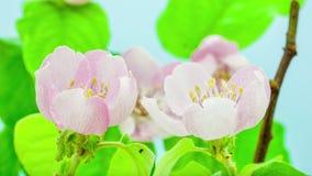 Timelapse de florescência da árvore da flor do marmelo video estoque
