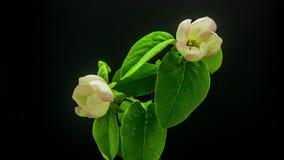 Timelapse de florescência da árvore da flor do marmelo vídeos de arquivo