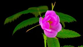 Timelapse de la floración de la flor del dogrose metrajes