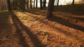 Timelapse de la puesta del sol del bosque metrajes