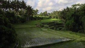 Timelapse de la terraza del arroz en Ubud, Bali almacen de video