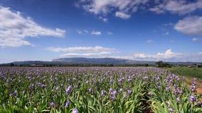 Timelapse de nubes sobre un campo del iris delante del soporte Sainte Victoire almacen de video