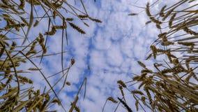 Timelapse de un campo de trigo en Alemania metrajes