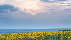 Timelapse del campo del girasol en fondo de la puesta del sol almacen de metraje de vídeo