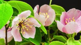 Timelapse del fiore della cotogna (cydonia oblonga) archivi video
