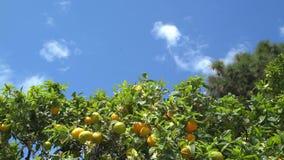 Timelapse dell'albero di agrume con i mezzi frutti e cielo blu maturi, insetti stock footage