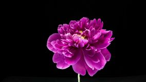 Timelapse der rosa Pfingstrosenblume, die auf schwarzem Hintergrund blüht stock footage