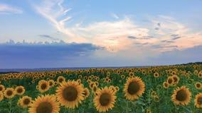Timelapse des Sonnenblumenfelds auf Sonnenunterganghintergrund stock video footage