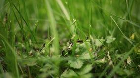 Timelapse di colore ha classificato la versione delle formiche dell'umidità che scalano l'erba vicino alla casa suburbana video d archivio