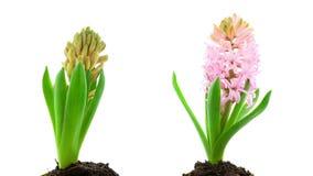 Timelapse di fioritura del fiore rosa del giacinto video d archivio