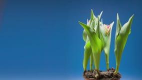 Timelapse di un mazzo di tulipano rosso fiorisce stock footage