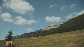 Timelapse du ciel bleu clair avec des nuages en été, paysage en montagnes les vaches sèment sur le champ banque de vidéos