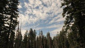 Timelapse escénico de la nube del bosque del pino metrajes