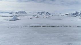 Timelapse för flyttning för Gentoo pingvinflock flyg- arkivfilmer