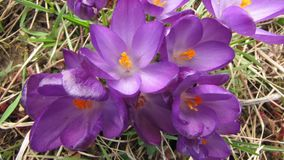 Timelapse flower crocus blooming stock footage