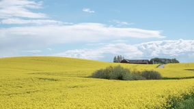 Timelapse: flowering canola rapeseed field under blue sky stock footage