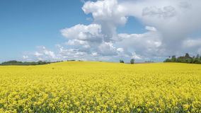 Timelapse: flowering canola rapeseed field under blue sky. With white clouds stock video